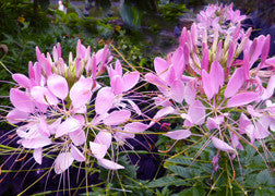 Cleome (Queen Rose)