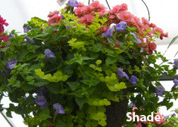 Hanging Baskets - Multi-Plant Mix for Sun and Shade