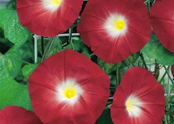 Morning Glory (Scarlet O'Hara)