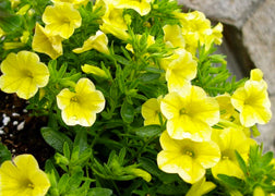 Petunia (Shockwave Yellow)