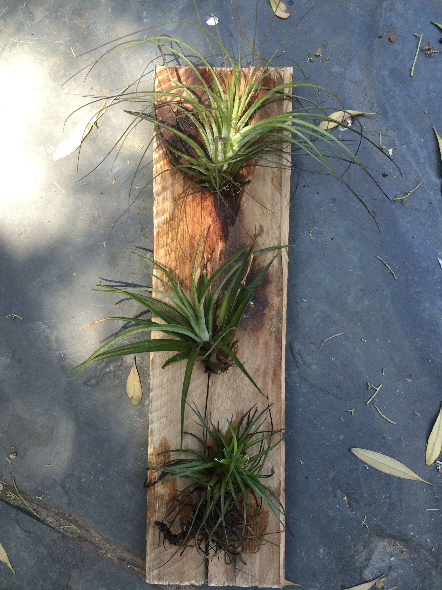 Air Plant On Hardwood