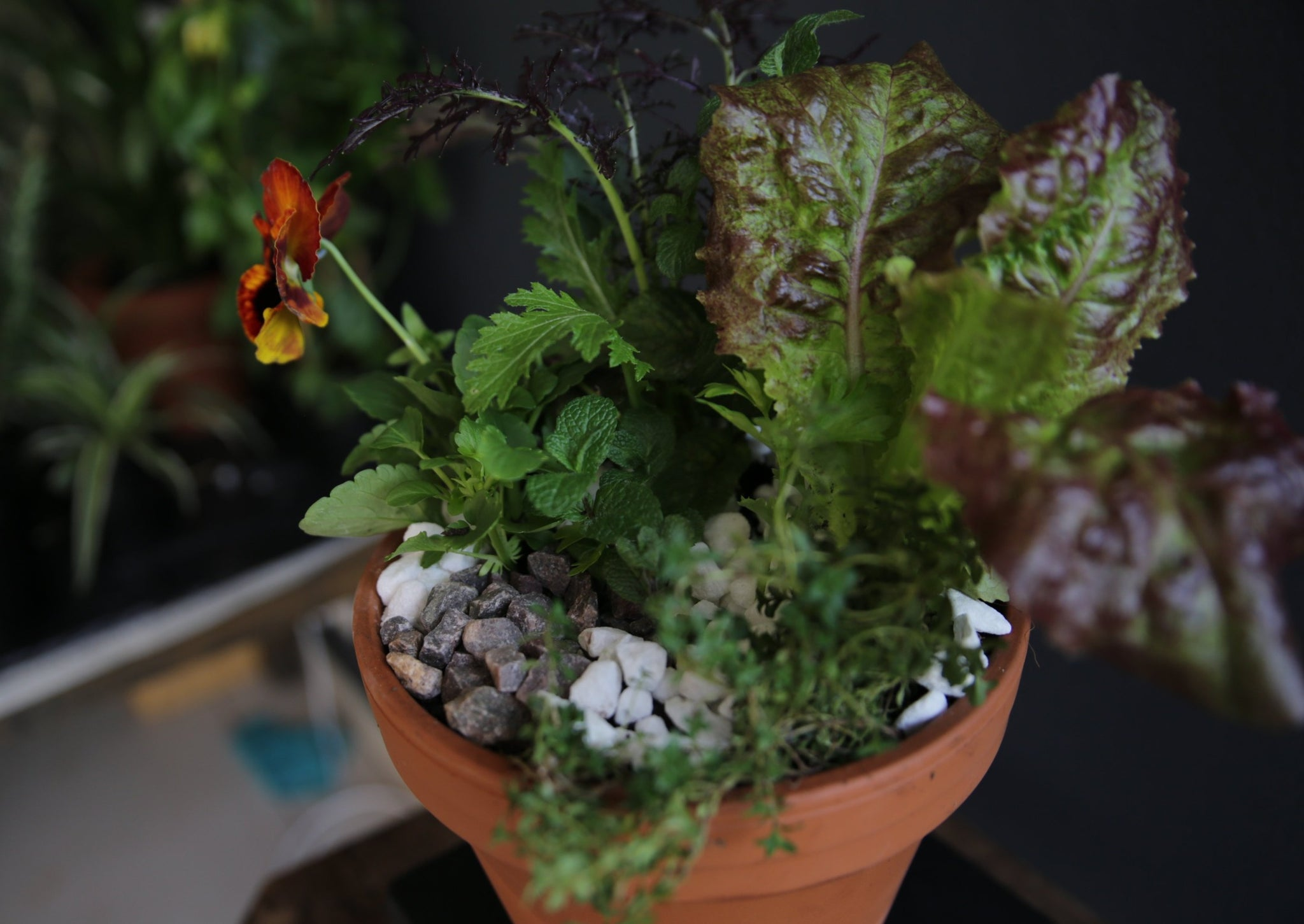 Mixed Kitchen Garden PotPlant with herbs, salad greens, edible flowers