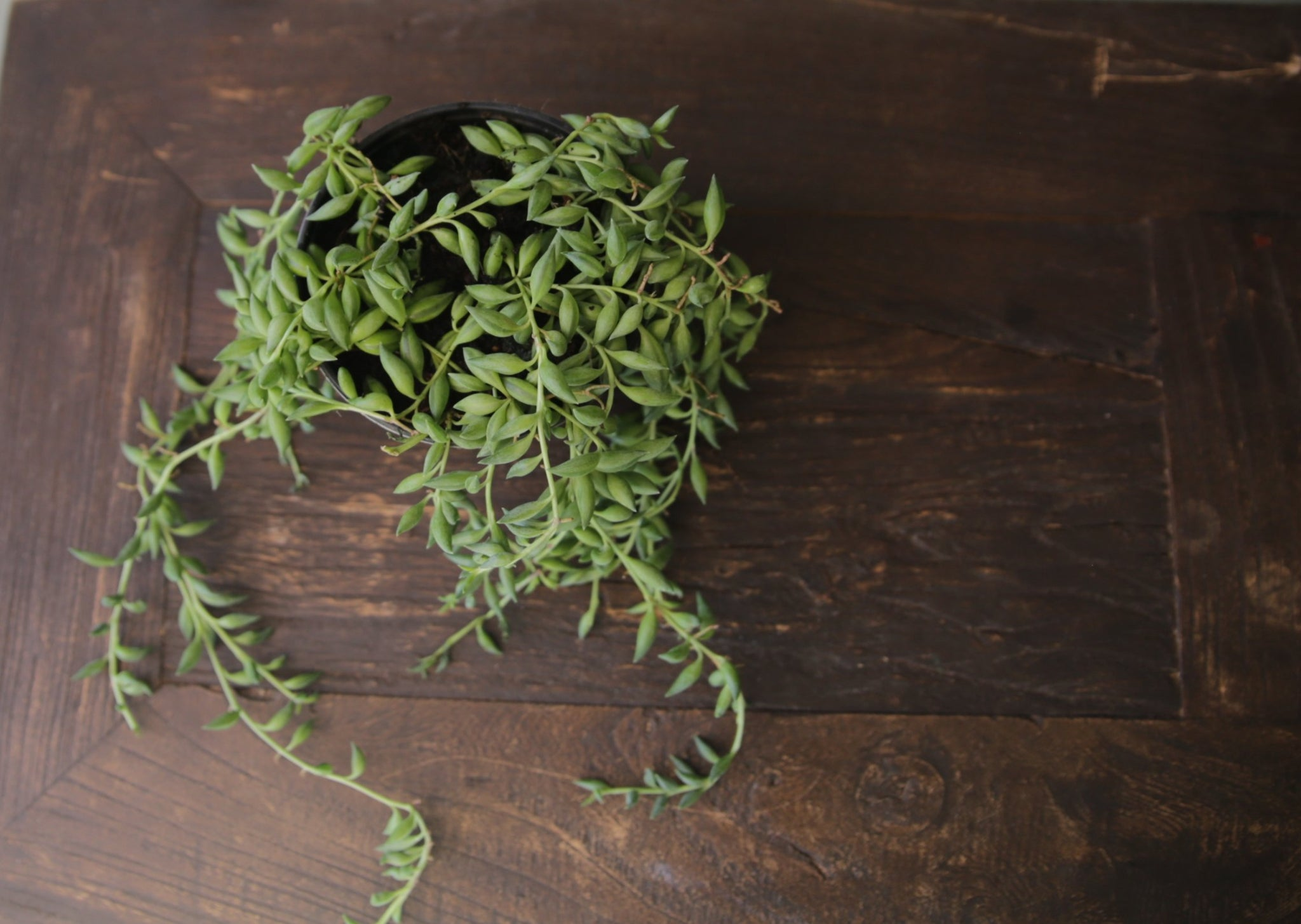 Senecio-Stringofbeads-EstablishedSucculentCreeperSpiller4