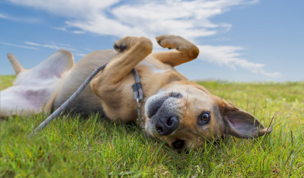 5 Easy Ways to Care for Dogs with Sensitive Tummies