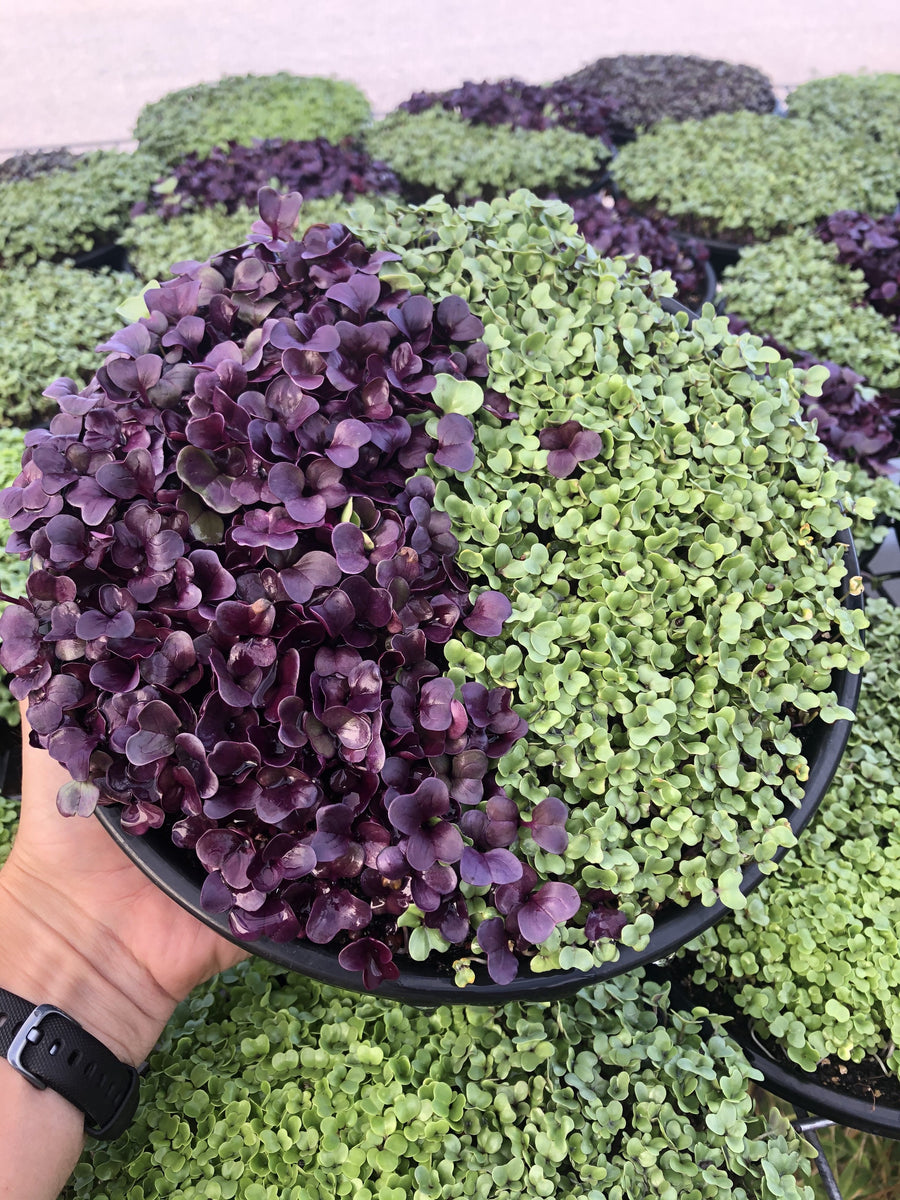 Regular Green Broccoli and Red Raddish Micro Greens