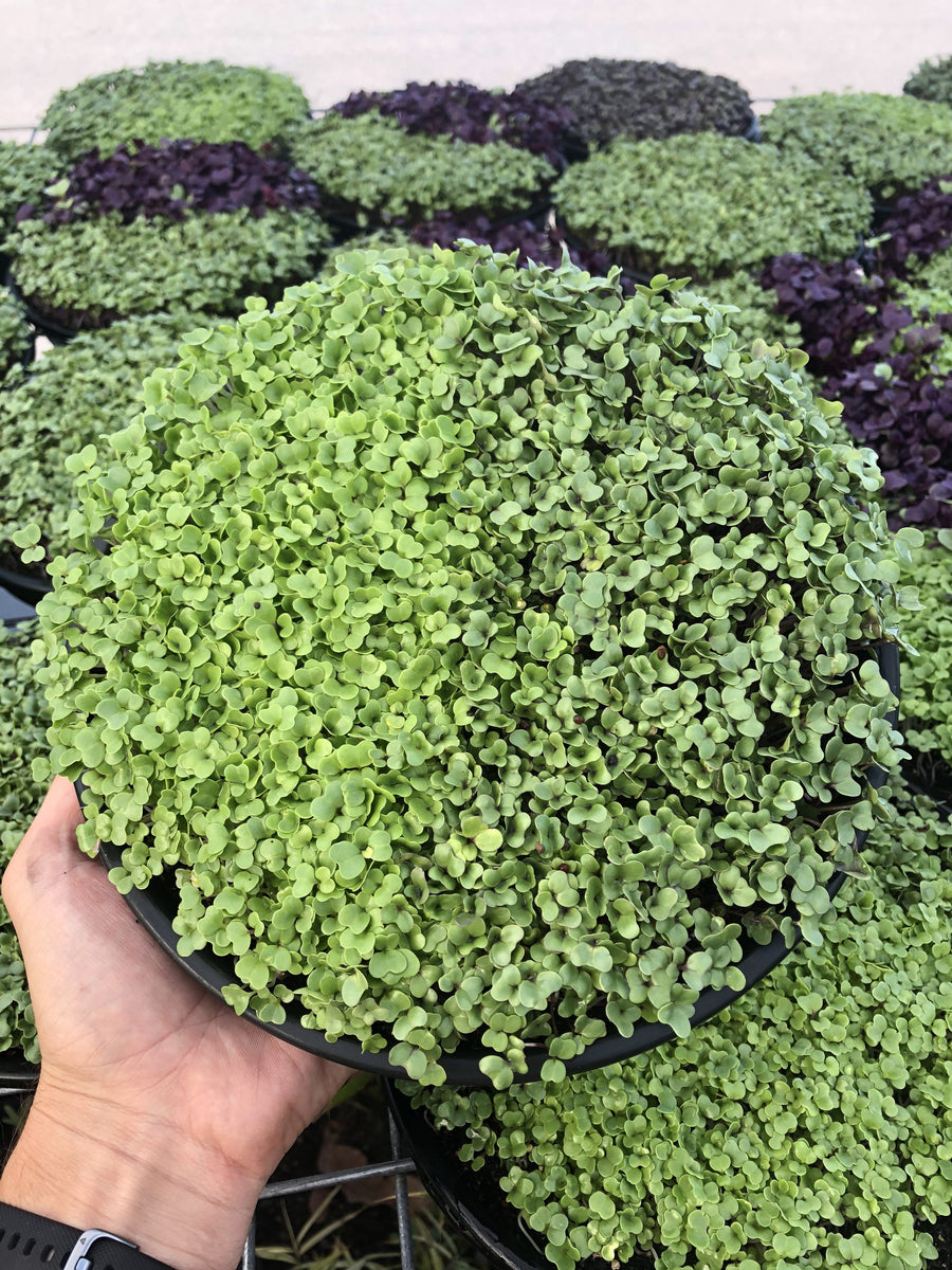 Regular Broccoli and Rocket Microgreen Tray