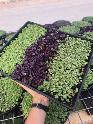Family Mixed Micro Green Tray
