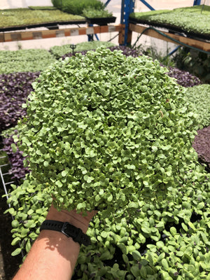 Regular Broccoli Microgreen Tray