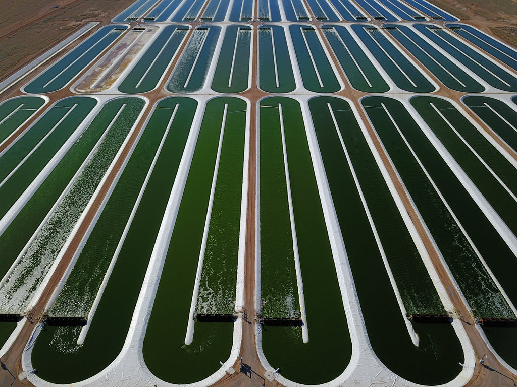 A close up view of iWi's pools of algae growing in the desert.
