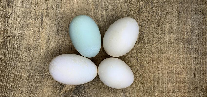 Duck Eggs - Good for you and your dog!