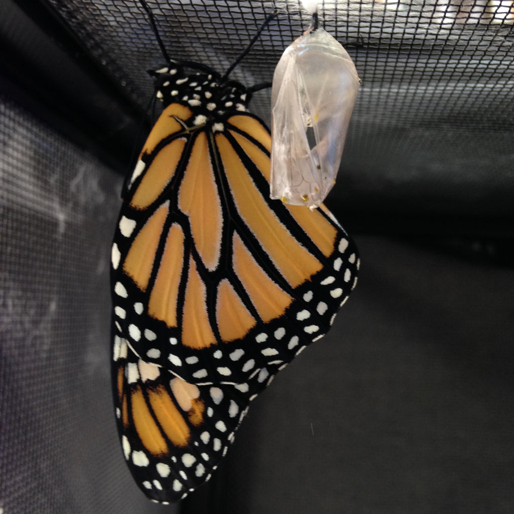 Monarch Butterfuly Information