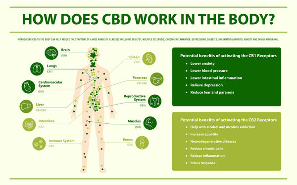 How Does CBD Oil Work?