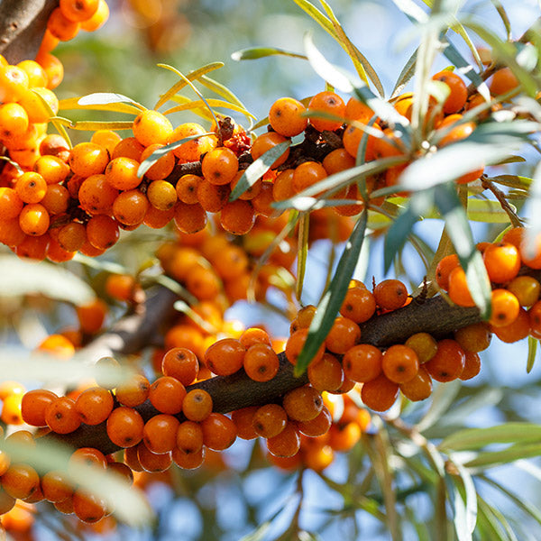 Sea Buckthorn, the Emerging Gem