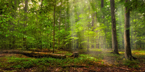 Light shining down of forest of green trees