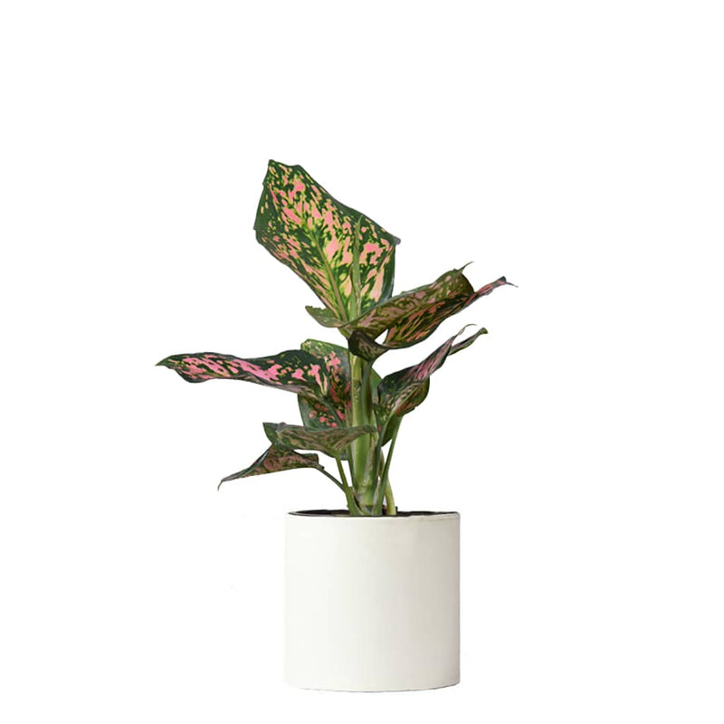 Aglaonema spotted star