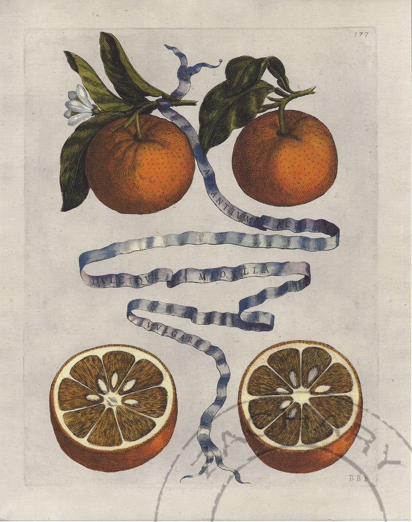 Orange Botanical Print No. 377