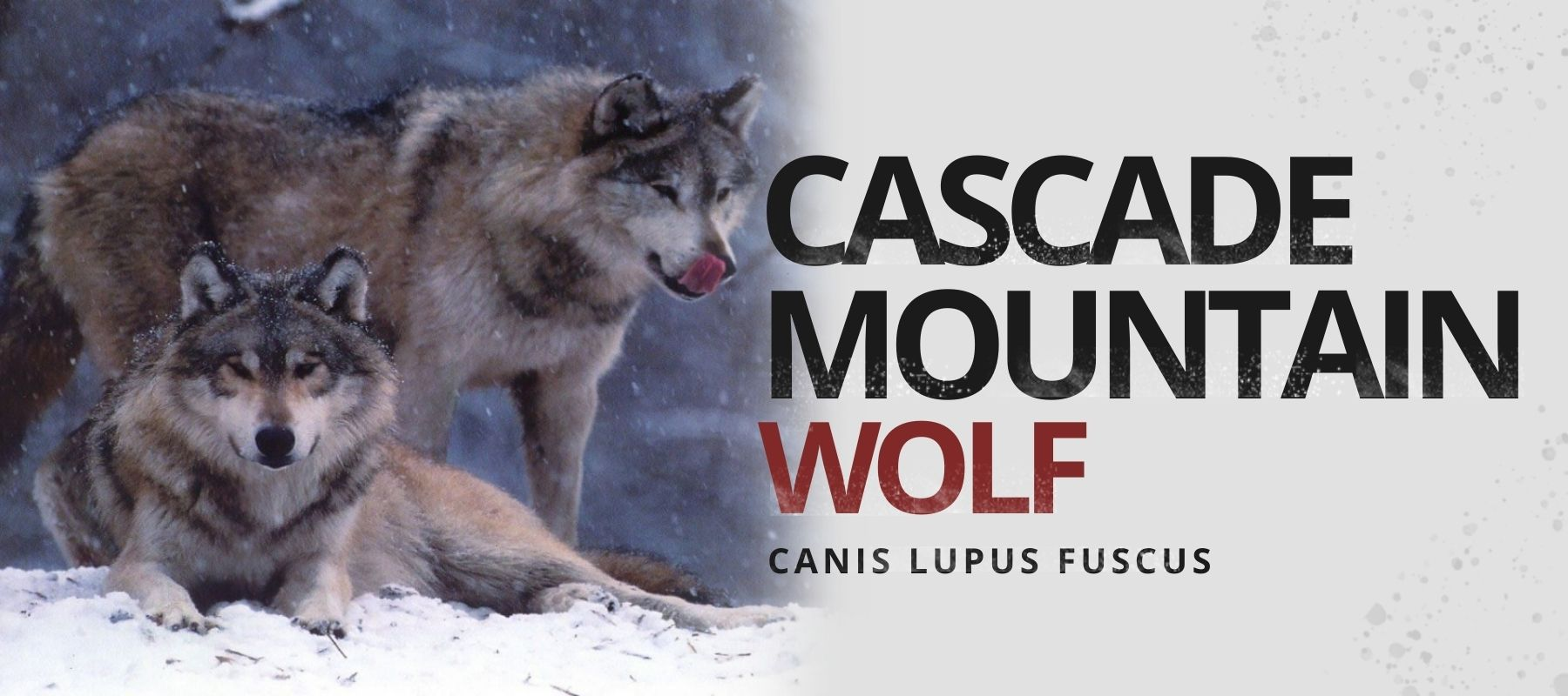 cascade mountain wolf