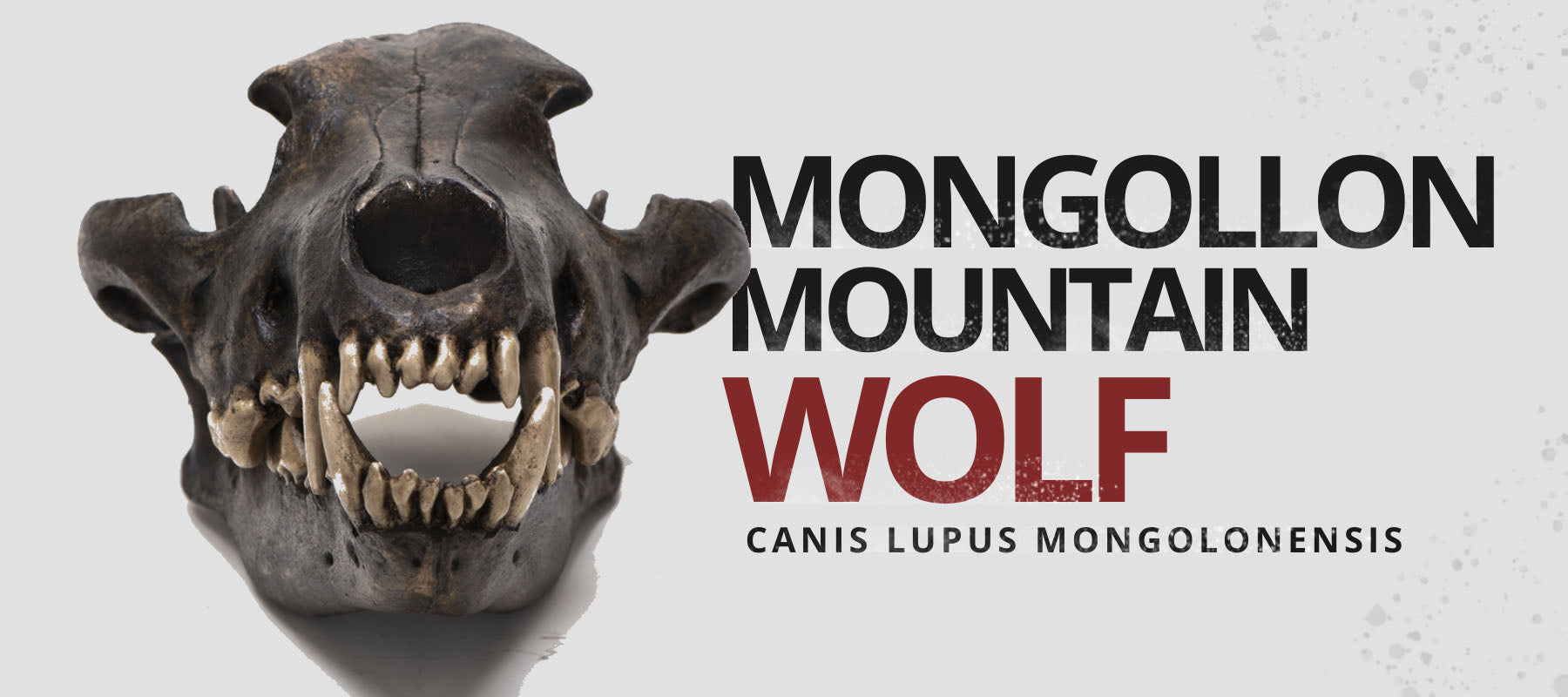 mongollon mountain wolf