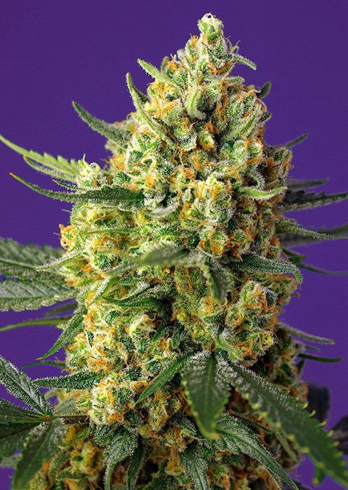 Sweet Seeds Crystal Candy XL Auto®