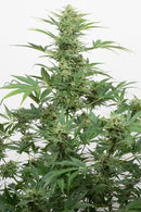Aeroponica, Black Friday, Brands_Dinafem Seeds, CBD, Coltivazione, DINAFEM SEEDS, Idroponica, Indoor, Outdoor, Semi, Semi da collezione, THC, Tipo_Auto Fiorenti, Tipo_CBD - doisgrowshop.it