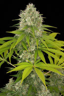 Dinafem Seeds Power Kush
