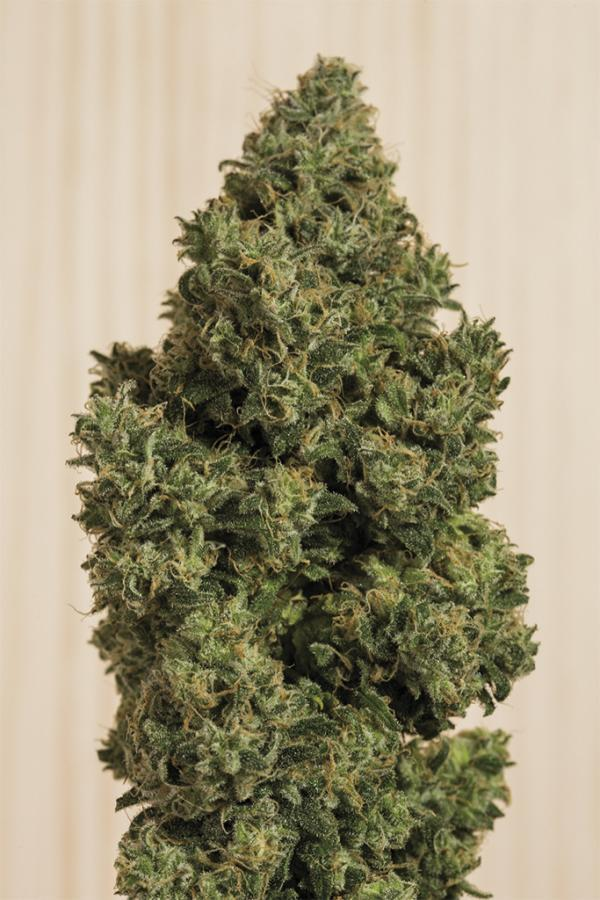 Humboldt Seeds Blue Dream CBD