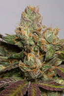 Humboldt Seeds 707 Truthband by Emerald Mountain
