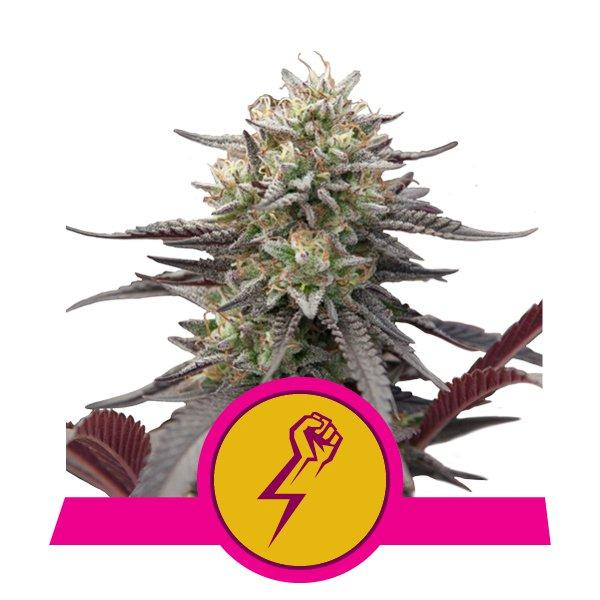 Royal Queen Seeds Green Crack Punch