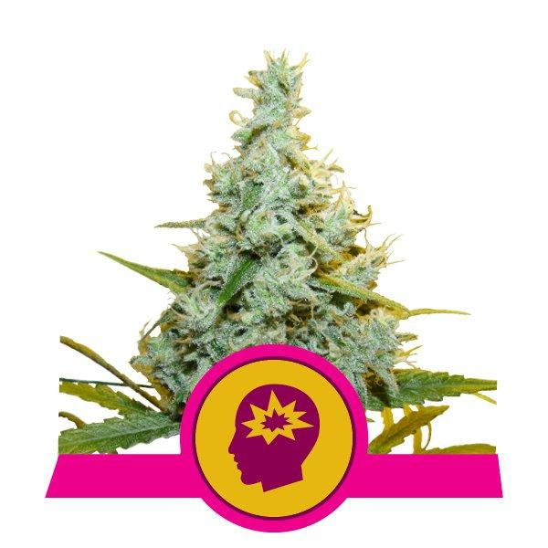Royal Queen Seeds AMG - Amnesia Mac Ganja