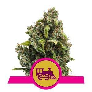 Royal Queen Seeds Candy Kush Express Fast Flowering