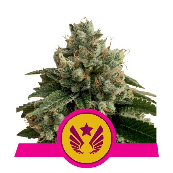 Royal Queen Seeds Legendary OG Punch