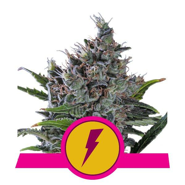 Royal Queen Seeds North Thunderfuck