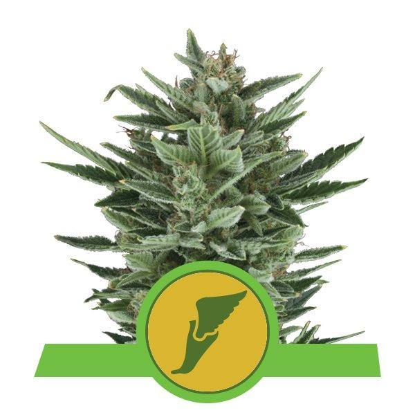 Royal Queen Seeds Quick One