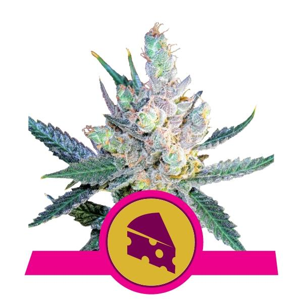 Royal Queen Seeds Royal Cheese (Fast Flowering)