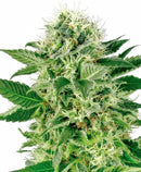 Aeroponica, Brands_Sensi Seeds, CBD, Coltivazione, FEMMINIZZATI, Idroponica, Indoor, Northern Lights, Outdoor, Semi, Semi da collezione, THC - doisgrowshop.it