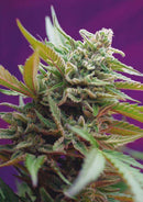 Sweet Seeds Black Jack Auto®