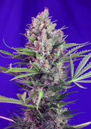 Sweet Seeds Cream Mandarine F1 Fast Version®