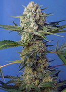 Sweet Seeds Crystal Candy F1 Fast Version®