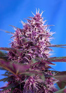 Sweet Seeds Red Poison Auto®