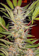 Sweet Seeds S.A.D. Sweet Afgani Delicious F1 Fast Version®
