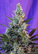 Sweet Seeds Sweet Skunk F1 Fast Version®