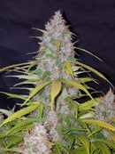 Fast Buds Californian Snow Auto