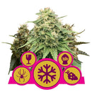 Royal Queen Seeds Mix Femminilizzata