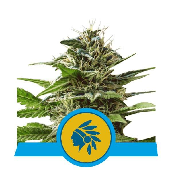 Royal Queen Seeds Tatanka Pure - DO.IS.