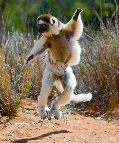 I would be this excited to see lemurs in the wild!