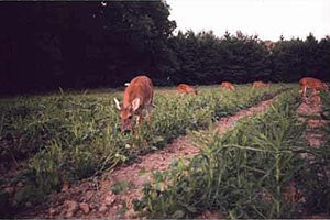 Attracting and holding deer on your hunting property