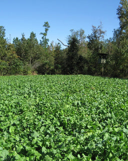 Brassica Banquet — Deer Food Plot Seed