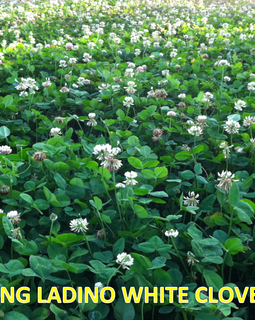 Deer & Turkey Food Plot Seed > King Ladino White Clover – 1 lb, 3.25 lb, & 25 lb