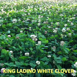 King Ladino White Clover — Deer & Turkey Food Plot Seed