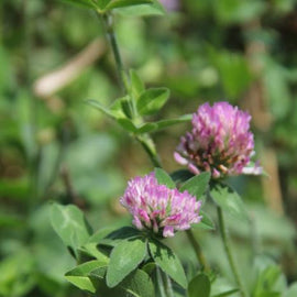 Rackup Red Clover — Deer Food Plot Seed